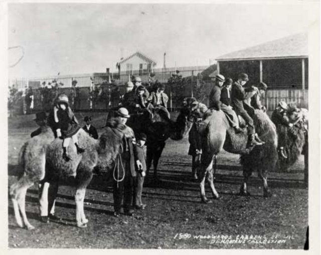Camel Rides at Woodward Gardens 1880
